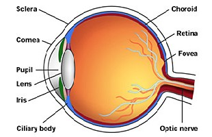 Eye simulation using 3d animation concepts regarding the human eye 1 structure of the eye functions of the eye along with structure of its various layers and parts as seen in fig 1 ccuart Choice Image